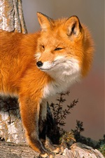 Preview iPhone wallpaper Animals close-up, fox look back