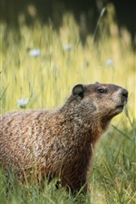 Preview iPhone wallpaper Grass, groundhog, flowers