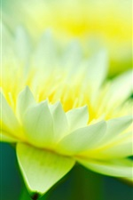 Preview iPhone wallpaper Green yellow petals, water lily close-up, bokeh