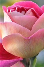 Preview iPhone wallpaper Pink rose, petals, bud, macro close-up