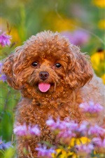 Preview iPhone wallpaper Poodle, puppy, flowers