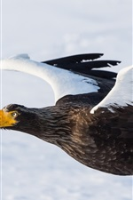 Steller's sea eagle, predator, bird flying, wings