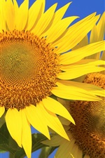 Preview iPhone wallpaper Sunflowers, petals, blue sky