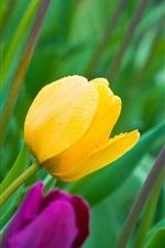 iPhone обои Тюльпаны, желтые и фиолетовые цветы, бутоны, лепестки, роса