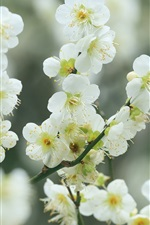Twigs, white cherry flowers, blossom, spring, bokeh
