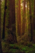 Preview iPhone wallpaper USA, California, redwoods, forest, trees