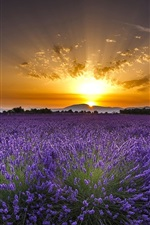 Preview iPhone wallpaper Valensole, France, lavender flowers, sunrise, dawn
