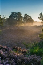 Veluwezoom National Park, Netherlands, heather, trees, sun rays, dawn