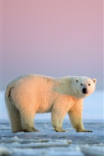 White polar bear, sunset, ice, Arctic, Alaska