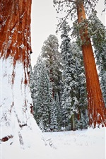 Preview iPhone wallpaper Winter, snow, redwood, tree, forest