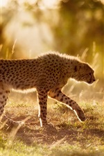Preview iPhone wallpaper Africa, cheetah, big cat, sunshine
