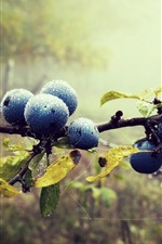 Blueberries, twigs, water drops, leaves, forest, fog