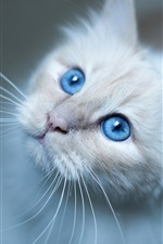 Preview iPhone wallpaper Burmese cat, blue eyes, white kitten