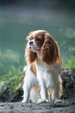 Preview iPhone wallpaper Cavalier king Charles Spaniel, dog