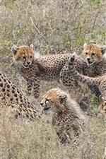 Preview iPhone wallpaper Cheetahs family, cubs, motherhood