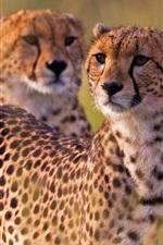 Preview iPhone wallpaper Cheetahs, wild cat, Africa