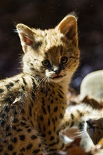 Preview iPhone wallpaper Cute serval cat