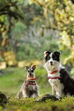 Preview iPhone wallpaper Dwarf Schnauzer, border collie, two dogs