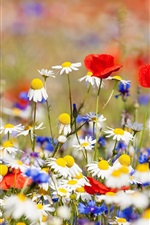 Flowers field, white chamomile, red and blue flowers