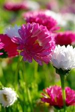 Preview iPhone wallpaper Flowers, summer, white and pink chrysanthemum