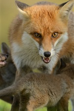 Preview iPhone wallpaper Foxes, cubs, motherhood, family