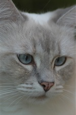 Preview iPhone wallpaper Gray cat, face, eyes, bokeh