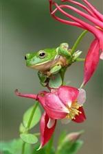 Green frog, treefrog, red flowers