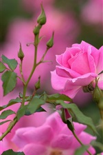 Pink rose, flowers, buds, bokeh