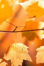 Preview iPhone wallpaper Red maple leaves, branch, autumn, sunlight