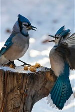 Two birds, blue feathers, wings, stump