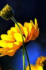 iPhone обои Желтые цветы, бутоны, синий фон, солнце