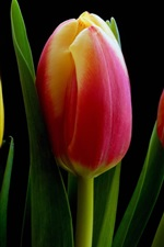 Preview iPhone wallpaper Yellow orange red tulip flowers, black background