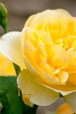 Preview iPhone wallpaper Yellow rose flower close-up, petals, bud