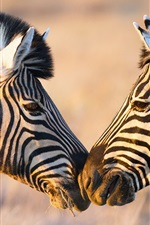 Preview iPhone wallpaper Africa, two zebras, face to face