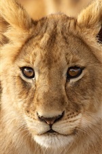 Preview iPhone wallpaper Animal portrait, lion cub, face, look