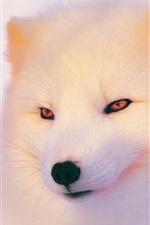 冬の北極フォックス、顔