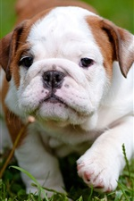 Preview iPhone wallpaper Bulldog, cute puppy, grass