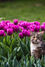 Preview iPhone wallpaper Cat in the flowers field, tulip, bokeh