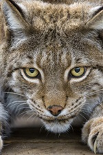 Preview iPhone wallpaper Cute lynx, cat, eyes, claws, face