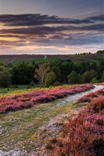 England, heather flowers, hills, trees, sunset, clouds, sky