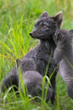 Preview iPhone wallpaper Finland, black arctic fox family, summer, grass