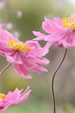Preview iPhone wallpaper Japanese anemone, petals, pink flowers