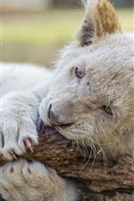 Preview iPhone wallpaper Lion cub playing, white