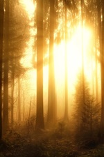 Preview iPhone wallpaper Misty forest, trees, sun rays