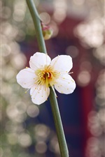 iPhone обои Один белый цветок крупным планом, лепестки, бутон, веточка, блики
