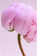 Preview iPhone wallpaper Pink peony flower close-up