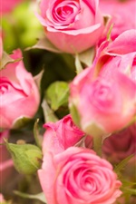 Preview iPhone wallpaper Pink roses, flowers close-up