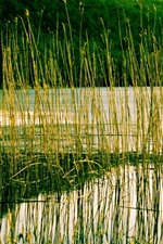 Preview iPhone wallpaper River, reeds, plant, water