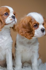 Preview iPhone wallpaper Spaniels, cute three puppies