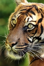Preview iPhone wallpaper Sumatran tiger, predator, portrait